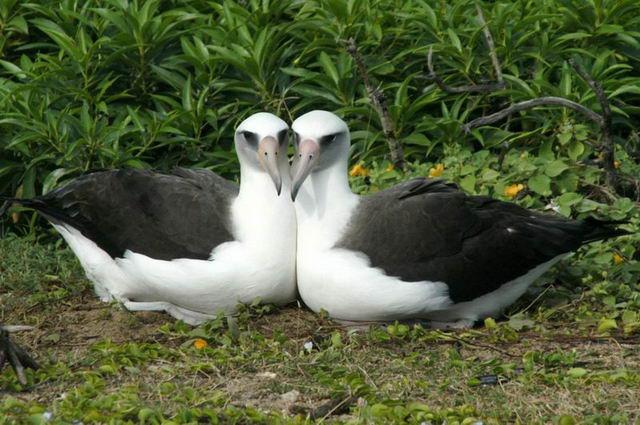 Лейсанские альбатросы