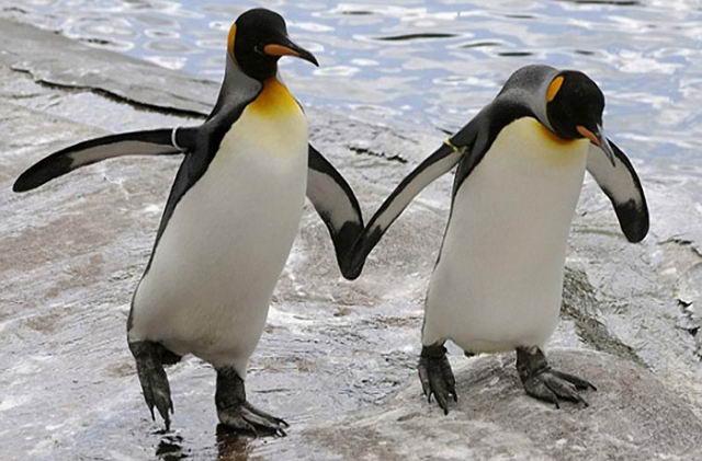 Водоплавающие птицы и пингвины